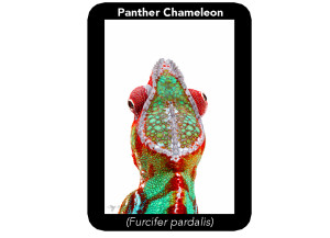 panther-chameleon-male